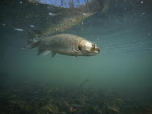 A Rainbow Trout Tries to Spit out a Fly Underwater in Dogwood Canyon by Stephen Alvarez