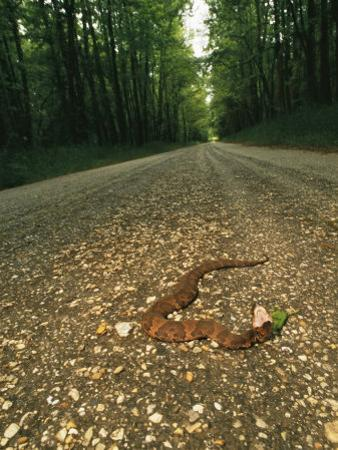 A Water Moccasin Snake Opens its Mouth on a Road in Mississippi by Stephen Alvarez