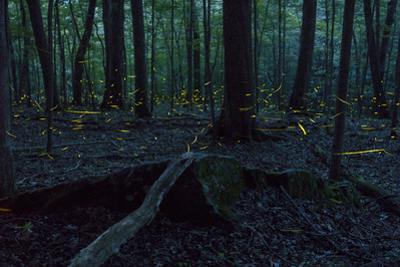 Common Eastern Fireflies, Photinus Pyralis, in the Forest at Twilight by Stephen Alvarez