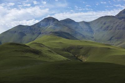 Nguli Cows Graze on High Pasture in the Drakensberg Mountains by Stephen Alvarez