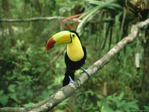 Toucan Sits on a Tree Limb in the Belize Zoo by Stephen Alvarez