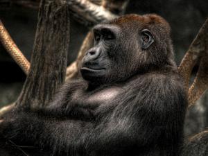 Gorilla by Stephen Arens