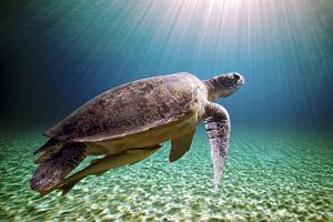 Green Sea Turtle by Stephen Ennis Photography