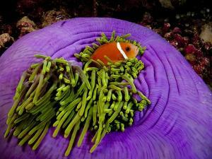 Anemonefish and large anemone by Stephen Frink