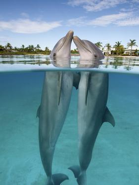 Atlantic Bottlenose Dolphins kissing by Stephen Frink