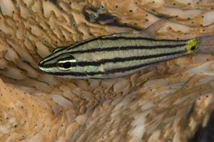 Cardinalfish Hides in Tridacna Clam. by Stephen Frink
