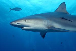 Caribbean Reef Shark by Stephen Frink