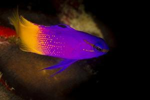 Close-Up of Fairy Basslet (Gramma Loreto) by Stephen Frink