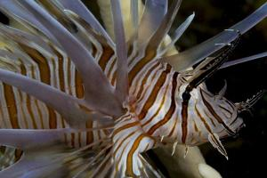 Close-Up of Red Lionfish (Pterois Volitans) by Stephen Frink