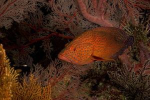 Coral Grouper (Cephalopholis Miniatus) by Stephen Frink