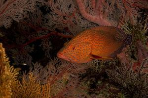 Coral Grouper (Cephalopholis Miniatus) by Stephen Frink