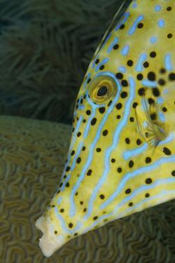 Face of Scrawled Filefish (Aluterus Scriptus) by Stephen Frink