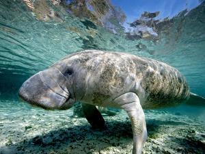 Florida Manatee by Stephen Frink