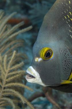 French Angelfish (Pomacanthus Paru). by Stephen Frink