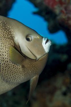 Gray Angelfish (Pomacanthus Arcuatus) by Stephen Frink