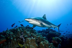 Gray Reef Shark (Carcharhinus Amblyrhynchos) by Stephen Frink