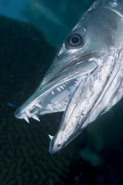 Great Baracuda (Sphyraena Barracuda) by Stephen Frink