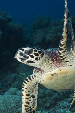 Hawksbill Turtle (Eretmochelys Imbricata) by Stephen Frink