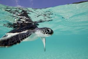 Juvenile Green Sea Turtle (Chelonia Mydas) by Stephen Frink