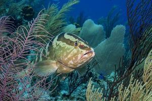 Nassau Grouper (Epinephelus Striatus) by Stephen Frink