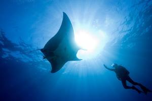 Pacific Manta and Scuba Diver by Stephen Frink