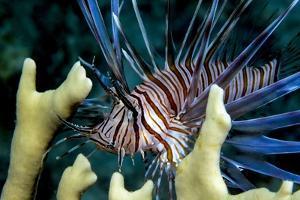 Pacific Ocean Species in Caribbean Sea by Stephen Frink