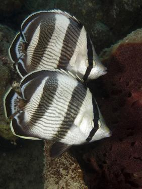 Pair of Banded Butterflyfish (Chaetodon Striatus) by Stephen Frink