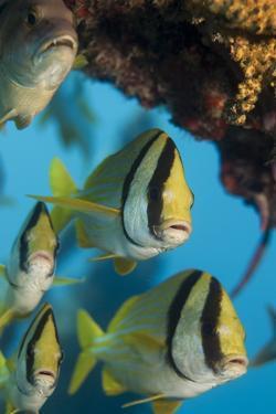 Porkfish (Anisotremus Virginicus) by Stephen Frink