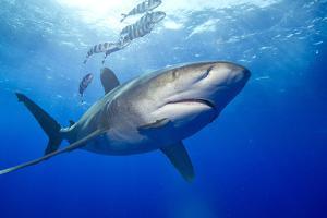 Predatory Oceanic Whitetip Shark by Stephen Frink