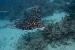 Spotted Eagle Ray (Aetobatus Narinari). by Stephen Frink
