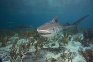 Tiger Shark in the Bahamas by Stephen Frink
