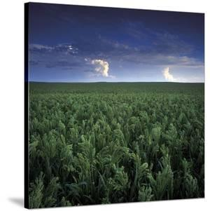 Millet by Stephen Gassman