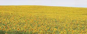 Sunflower Panorama by Stephen Gassman