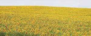 Sunflower Panorama by Stephen Gassman