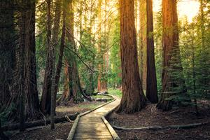 Sunset on the Forest Path, Sequoia National Park, California by Stephen Moehle