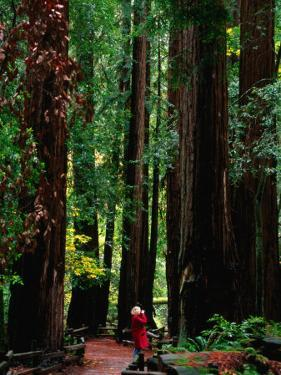 Forest of Redwood Trees, Muir Woods National Monument, California, USA by Stephen Saks