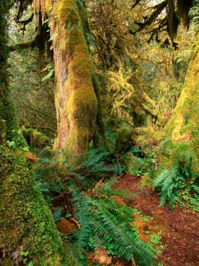 Hall of Mosses Trail, Olympic National Park, Washington, USA by Stephen Saks