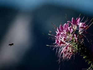 A Bee Closes in on a Large Cleome Flower, Also Called Spider Flower by Stephen St. John