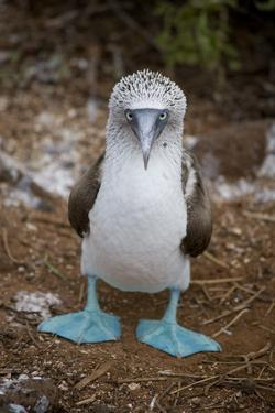 A Blue Footed Booby Looks at the Camera by Stephen St. John