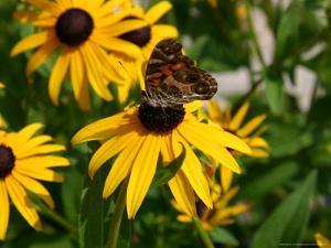 A Butterfly Lands on a Black-Eyed Susan Flower by Stephen St. John