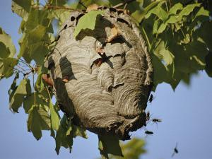 A Close View of a Very Active Wasp Nest by Stephen St. John