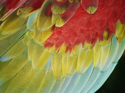 A Close View of the Wing of a Macaw by Stephen St. John