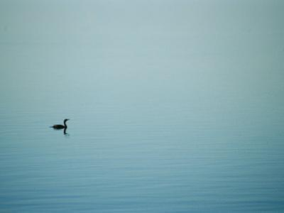 A Lone Cormorant Drifts on a Fog-Shrouded Lake by Stephen St. John