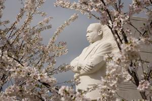 Cherry Blossoms Frame the Marble Statue of Martin Luther King by Stephen St. John