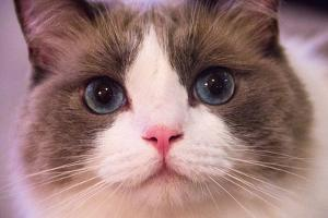 Close Up Portrait of a Blue-Eyed Cat Looking into the Camera by Stephen St. John