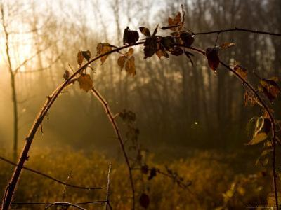 Dew-Covered Field of Vines in Early Morning Sunlight, Silver Spring, Maryland by Stephen St. John