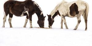 Patterned Horses Resembling Mirror Images, Grazing in the Snow by Stephen St. John