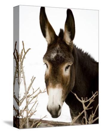 Portrait of a Mule in Fresh Snow
