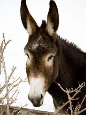 Portrait of a Mule in Fresh Snow by Stephen St. John