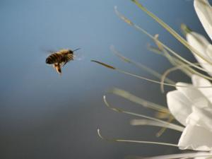Seen Frozen in Flight, a Bee Carries Pollen Towards a Big White Flower by Stephen St. John
